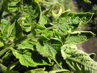 Tomato Yellow Leaf Curl Virus Management For Homeowners